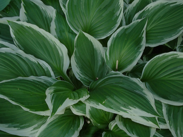 hosta-rain-or-shine-landscape-maintenance-seattle